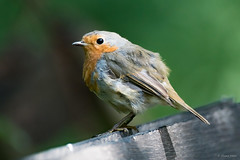 Scruffy robin (Shane Jones) Tags: bird robin nikon wildlife d500 tc14eii gardenbird 200400vr