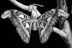 Atlasspinner (aldenz) Tags: seidenspinner butterfly atlasspinner attacus atlas schwarz weis bw black white