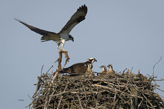 """Dad bringing home the Veggies"" (turtlehawk) Tags: wildlife bethany familyfun osprey bethanybeach bluecoast"