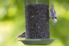 IMG_4613eFB (Kiwibrit - *Michelle*) Tags: tree grass birds woodpecker squirrel maine feeder chipmunk monmouth 2016 061916