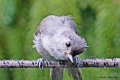 Tufted Titmouse Juvenile (--Anne--) Tags: baby cute bird nature birds wildlife titmouse juvenile tuftedtitmouse animalphotography titmice