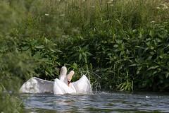 Fighting Swans (oandrews) Tags: england bird nature animal fauna canon outdoors fight swan unitedkingdom gb aggression fighting muteswan cygnusolor titchmarsh wildlifetrusts aldwincle canonuk canon70d 30dayswild