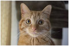 Chloe Cat (theimagebusiness) Tags: uk portrait orange pet cute cat fur scotland ginger eyes orangecat nikon kitten sweet creative whiskers curious livingston gingercat catseyes petphotography theimagebusiness theimagebusinesscouk