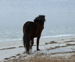 12 February 2016: By the bay (RobinMSP) Tags: winter horses beach nature bay maryland easternshore ponies assateagueisland wildhorses dailywalk maidinsunphotography february2016c