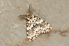 Black Arches  Lymantria monacha (Roger Wasley) Tags: macro britain buckinghamshire moths british aylesbury blackarches lymantriamonacha