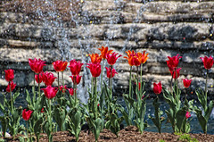 The Voice of Many Hearts (LotusMoon Photography) Tags: flowers red green nature water fountain floral beautiful spring colorful tulips annasheradon