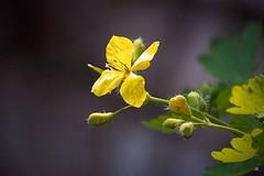 """Stinkende gouwe (Chelidonium majus) """"In Explore"""" (mia_moreau) Tags: plant flower macro nederland explore geel limburg bloem zuidlimburg chelidoniummajus stinkendegouwe miamoreau"""
