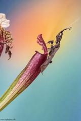 Crescer! (Phyllocrania paradoxa) (antonello.fardella) Tags: macro canon mantis insect bugs mantide insetti paradoxa phyllocraniaparadoxa
