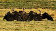 Ruppell's Griffon Vulture - Vautour de Ruppell (charbonjoh) Tags: rppellsgriffonvulture vautourderppell tanzania serengetinationalpark largebirds