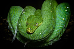 Green Tree Python (Keith L'Amour) Tags: green tree python snake coiled molting