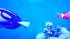 dory can't find nemo (fringenious) Tags: blue wild nature animal zoo neon capture