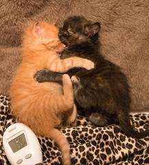 IMG_9708 (jaglazier) Tags: usa cats playing cute animals june unitedstates tiger indiana kittens bloomington mammals blackie 2016 6416 copyright2016jamesaglazierandjamesaferguson