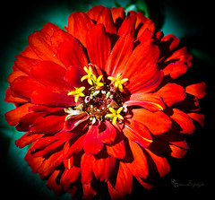 RED! (Donald.Gallagher) Tags: de delaware flower lenstagger nature northamerica pikecreek plants tokinaaf100mmf28macro typecloseup typecolor usa woodcreek brown petals red yellow