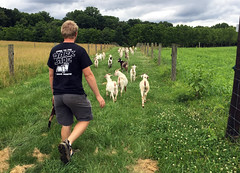 drivinggoats (baalands) Tags: test central performance maryland goat meat pasture western kiko fencing laneway bucks herd consigner
