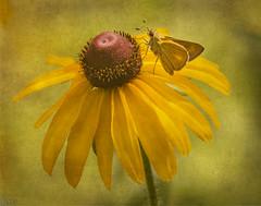 Skipper On The Bloom (ccliffb) Tags: butterfly skipper flower blackeyedsusan nature textures kirstinfranktextures