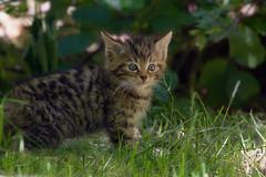Meet the new little wild kitty (FocusPocus Photography) Tags: animal kitten wildlife wildcat tier wildpark feli tripsdrill wildkatze wildtier