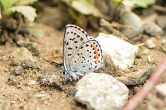 dotted blue (BobRobin) Tags: blues cascades swakanecanyon washington butterfly dottedblue extra insect puddlingbutterflies
