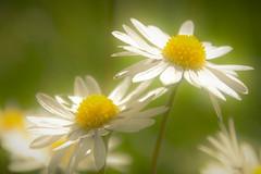 let there be light (morag.darby) Tags: light flores flower nature fleur sunshine digital garden nikon natural daisy lawnmower nikkor d3300