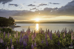 Lupin season has arrived :) (Rob Romard) Tags: ocean sunset lighthouse reflection flag capebreton lupins