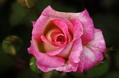 The Sundays Rose (Hugo von Schreck) Tags: flower macro rose outdoor blume makro tamron28300mmf3563divcpzda010 canoneos5dsr hugovonschreck