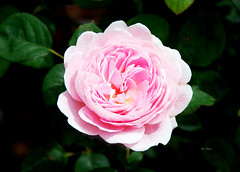 QUEEN OF SWEDEN. (tommypatto ~ IMAGINE : We fear a European breakup) Tags: flores rose flora rosa bodnantgarden
