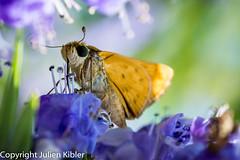 Sweet nectar! (Julien//K) Tags: usa flower macro nature animal closeup butterfly insect outdoors nikon texas bokeh wildlife details papillon nectar tamron 90mm f28 macrophotography d7100