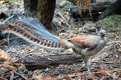 A Master audio mimic artist - the Lyre bird (PsJeremy) Tags: bird tail australian lyrebird