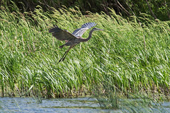 Zirbel Slough 6/4/2016 (Doug Lambert) Tags: bird nature midwest wildlife greatblueheron cerrogordocounty zirbelslough