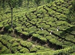 A Patch Work of Tea (The Spirit of the World) Tags: india nature landscape workers locals tea terraces plantation fields crops agriculture munnar southernindia teaplantations teaplantationsofindia