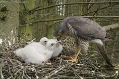 Sparrowhawks (Steven Mcgrath (Glesgastef)) Tags: bird scotland nest hawk glasgow raptor prey nesting sparrowhawk sparrowhawks