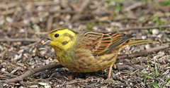 Yellowhammer (Ron Vipond) Tags: