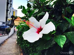 #iPhone6Plus #flower #outdoor (choong mun) Tags: red white flower green nature yellow leaf outdoor funchal madeiraisland