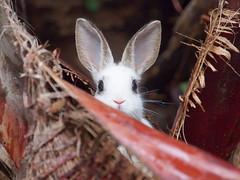 B6251854 (VANILLASKY0607) Tags: rabbit bunny bunnies nature animal japan photo wildlife wildanimal hydrangea rabbits rabbitisland wildrabbit okunoshima