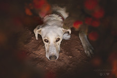 Argos (alessandrafavetto) Tags: pet pets color dogs horizontal outdoors dof dogphotography petphotography dogportrait petphotographer dogphotographer