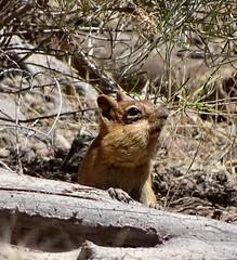 Golden-mantled Ground Squirrel--Callospermophilus lateralis (Polioptila caerulea) Tags: california groundsquirrel nevadacounty goldenmantledgroundsquirrel callospermophilus callospermophiluslateralis hirschdale icelandrd