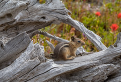 Golden-mantled Ground Squirrel (Stephen R. D. Thompson) Tags: nature washington mountsthelens locations mamals goldenmantledgroundsquirrel stephenthompson stcphotography