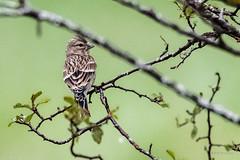 Linotte mlodieuse (femelle) (denis.loyaux) Tags: france birds oiseaux arige cardueliscannabina mazre commonlinnet nikond5 mazres linottemlodieuse midipyrnnes fringillids passriformes domainedesoiseaux nikond4s nikon200500f56 nikkor200500f56