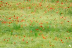 poppy dots ... (Sandra Bartocha) Tags: summer poppies summertime poppyfield csandrabartocha poppydots