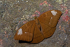 Tanaecia julii - the Common Earl (female) (BugsAlive) Tags: macro nature animal butterfly insect thailand outdoor wildlife butterflies insects lepidoptera chiangmai nymphalidae limenitidinae doisutheppuinp liveinsects commonearl thailandbutterflies tanaeciajulii