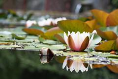 2016.07.014 Abbotsbury (106) (Kotatsu Neko 808) Tags: uk england gardens dorset subtropical abbotsbury abbotsburysubtropicalgardens