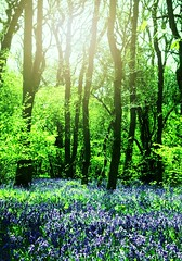 BLUEbells in the GREENwood (TempusVolat) Tags: wood flowers blue wild flower green beauty bluebells woodland interesting flickr pretty bright image swindon picture vivid attractive trunk getty gw bluebell gareth goodlooking tempus volat wonfor mrmorodo garethwonfor tempusvolat