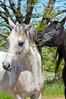 """Here! Eat my grass!"" (Blood spot = must have knicked himself on barbed wire fence.) (Idahoeyes) Tags: horses spring may idaho southernidaho eatinggrass nikond90 arabianstallions sharonwatson idahoeyes americagreening"