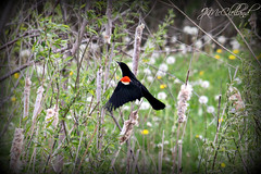 take flight (ThroughMyEyes_JKM) Tags: yard outdoors indiana neighborhood redwingblackbird merrillvillein