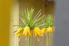 (bruneliberty) Tags: flowers macro green yellow fleurs jaune canon garden jardin vert lorraine moselle macrophotography macrophotographie canonef100mmf28macro 450d jardinpourlapaix jardinssanslimites jeuxdejardins