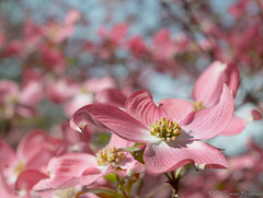 Pink Dogwood - Happy Mother's Day (GAPHIKER) Tags: pink flower macro tree day bokeh flash mothers bloom dogwood pinkdogwood happymothersday 55mmmicronikkor