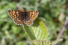 Duke of Burgundy (Jelltex) Tags: butterfly dukeofburgundy jelltex jelltecks