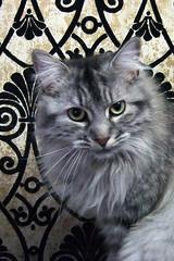 Jenny (chicozen) Tags: pet cats cute animal cat kitten feline chat kitty persan catnipaddicts