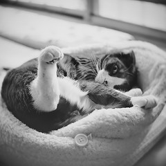 Snuggle Kitty (Long Sleeper) Tags: bw pet animal cat scottishfold tuxedocat sachi snugglekitty thecatwhoturnedonandoff dmcgf1 500500 slrmagictoylens26mmf14 sachisbed