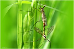 """Love is beautiful"" (Rondlarg) Tags: macro green nature grass insect spring natur mating gras grn 1001nights makro vignetting insekt frhling cranefly paarung schnake vignettierung 1001nightsmagiccity"