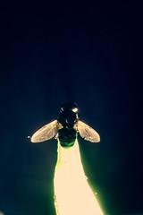 Invicto (Daniel Iván) Tags: blue light portrait color macro verde green luz statue azul contraluz insect dead death fly wings peace retrato paz colores bleu muerte serenity alas corpse estatua mosca muerta cadaver insecto serenidad insecta cadáver backlightning danielivan danieliván ofportalsandparallelworlds